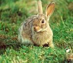Φονικός ιός απειλεί τα κουνέλια και τους λαγούς στις ΗΠΑ