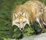 Εμβολιασμοί από αέρος για τη λύσσα