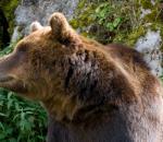 Συνεχή είναι τα περιστατικά επιθέσεων αρκούδων σε ανθρώπους
