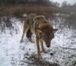 Ένα νέο είδος λύκου στην Αμερική