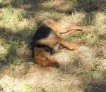 Δηλητηρίαση ποιμενικών και κυνηγετικών σκύλων στην Πίνδο