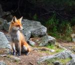 Ολοκληρώθηκε ο εμβολιασμός των αλεπούδων κατά της λύσσας