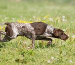 Η επιλογή κυνηγετικού σκύλου