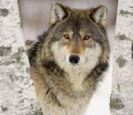 Οι Νορβηγοί στο κυνήγι των λύκων