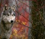 Ο λύκος της Ευρώπης είναι ο πρόγονος του σκύλου