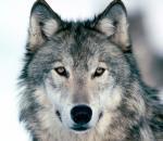 Εξόντωση λύκων από αέρος στον Καναδά