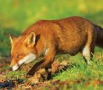 Συλλογή δειγμάτων αλεπούδων για επιτήρηση της λύσσας