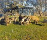 Μεγάλη αύξηση πληθυσμού αγριόχοιρων στην Ελλάδα
