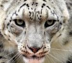 Σε κίνδυνο εξαφάνισης οι λεοπαρδάλεις του χιονιού