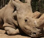 Οδεύουμε προς την εξαφάνιση του λευκού ρινόκερου;