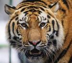 Ένας τίγρης τριγυρνά στο Παρίσι