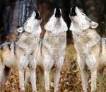 Κυνήγι αναψυχής σε λύκους στη Νορβηγία