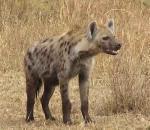 Η εξήγηση της μυρωδιάς της ύαινας