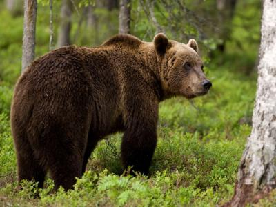 H ΚΟΜΑΘ κρούει τον κώδωνα του κινδύνου για τις αρκούδες