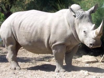Κοντά στην εξάλειψη ο βόρειος λευκός ρινόκερος
