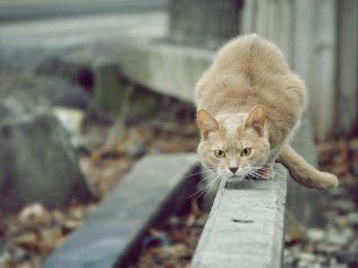 Αλεπούδες και γάτες εξαφανίζουν χερσαία θηλαστικά στην Αυστραλία