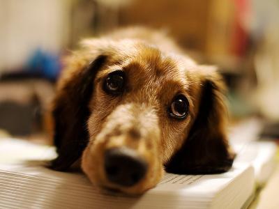 Πώς αντιδρούν τα σκυλιά στο ανθρώπινο βλέμμα;