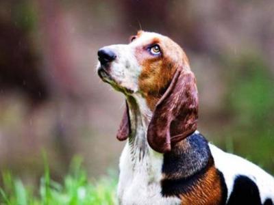 Τα σκυλιά έχουν αναπτύξει ένα βλέμμα χειραγώγησης των ανθρώπων