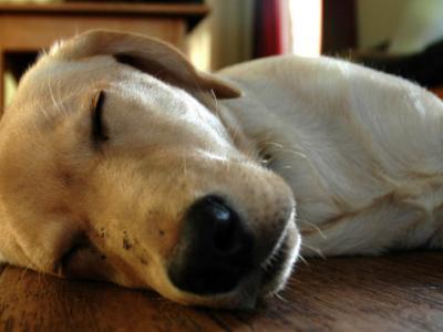 Οι συνήθειες και ανάγκες ύπνου των σκύλων