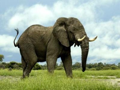 Σε ολική εξαφάνιση ρινόκεροι και ελέφαντες;