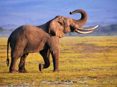 H λαθροθηρία αλλάζει την εξέλιξη των ελεφάντων