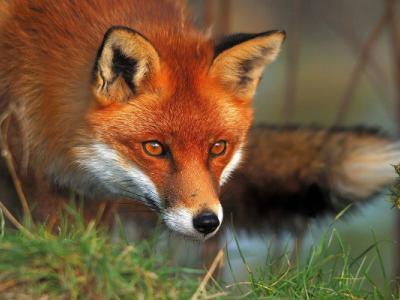 Το Brexit επαναφέρει το κυνήγι της αλεπούς στην Αγγλία