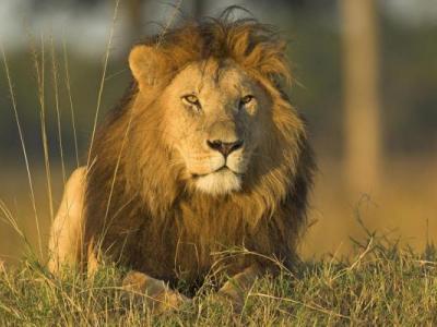 Τα λιοντάρια επιστρέφουν στην Γκαμπόν
