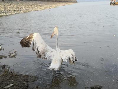Απελευθέρωση άγριων πουλιών στη λίμνη Κερκίνη