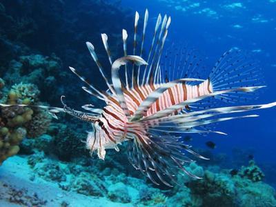 Ένα επικίνδυνο ψάρι στις ελληνικές θάλασσες