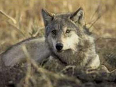 H επιστροφή του λύκου στην Πάρνηθα