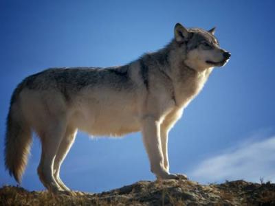 Ανακοίνωση για την αύξηση πληθυσμού του λύκου