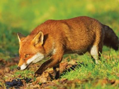 Σε ποιες περιοχές γίνεται η εναέρια ρίψη των εμβολίων λύσσας