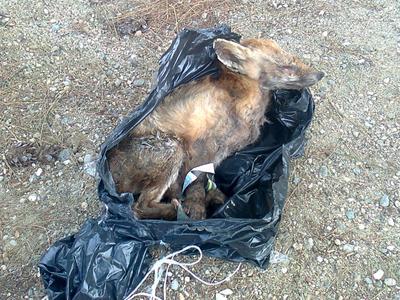 Νέο κρούσμα λύσσας σε αλεπού στο Κιλκίς