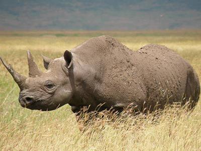 350.000 δολάρια για έναν ρινόκερο!