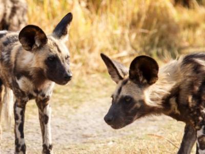 Τα άγρια σκυλιά ψηφίζουν με το φτέρνισμα