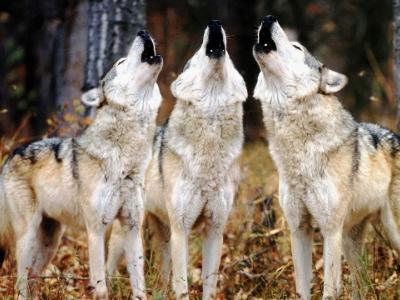 Οι 2.000 διαφορετικές διάλεκτοι των λύκων