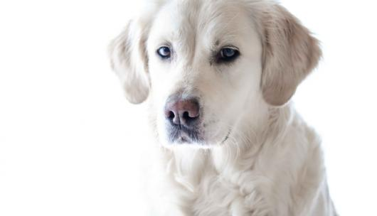 """Πώς να χειριστείτε τις """"δύσκολες"""" ημέρες ενός θηλυκού σκύλου"""